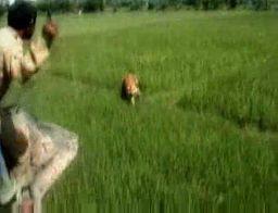 Atak tygrysa nagrany kamerą