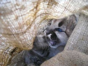Waleczny kociak pumy