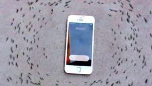 Dziwna reakcja stada mrówek na dzwoniący telefon