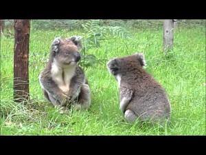Walczące koale
