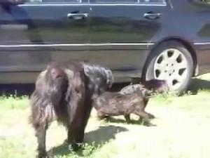 Odpowiedzialny pies przerywa walkę
