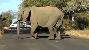 Dorosłe słonie osłaniają młodego podczas przechodzenia przez drogę