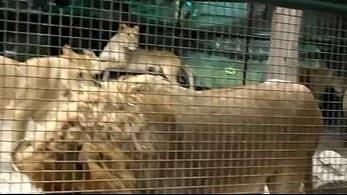 Co robi pies w klatce pełnej lwów?