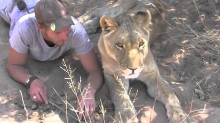 Lwica, który myśli, że jest nadal kociakiem