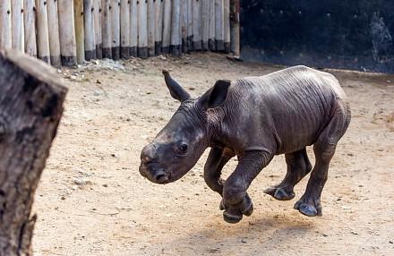 Młody rozbrykany nosorożec na spacerze z psami i reagujący na swoje imię!