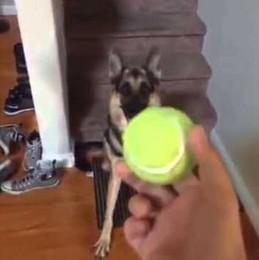 Duke, chcesz piłeczkę?