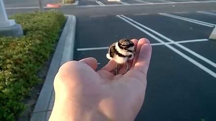 Gość ratuje ptaszka i oddaje go rodzicom
