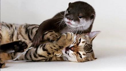 Nierozłączni: kot bengalski i wydra