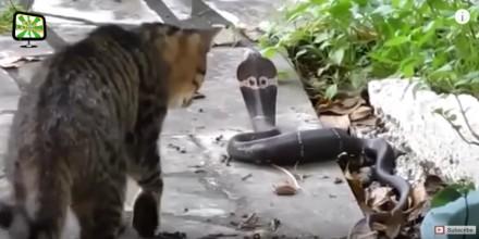 Koty, które nie wiedzą co to strach