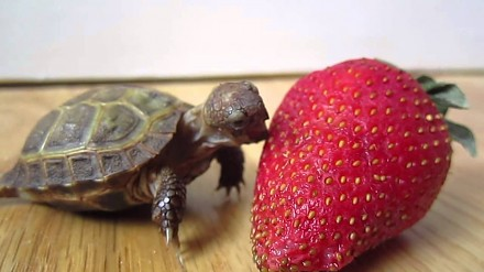Mały żółwik próbuje truskawki
