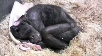 59-letnia umierająca szympansica słyszy głos swojego przyjaciela sprzed lat