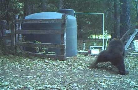 Czochrający się niedźwiedź dostaje po jajach