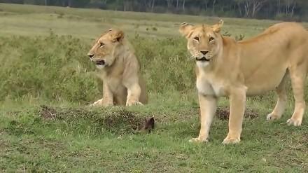 Odważna mangusta i cztery lwice