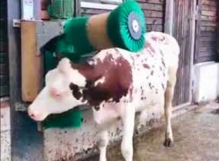 Przyrząd do czochrania krowy