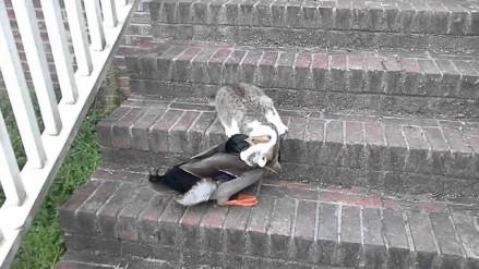 Walka na śmierć i życie kaczki z kotem
