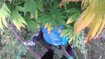 Plantacja marihuany w lesie, ale nie tam, gdzie byś pomyślał