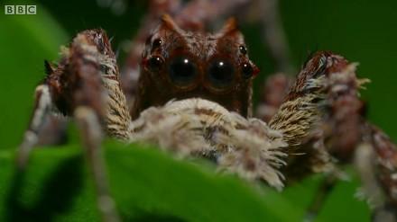 Portia labiata - geniusz wśród pająków