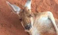 Wyluzowany kangur idzie spać