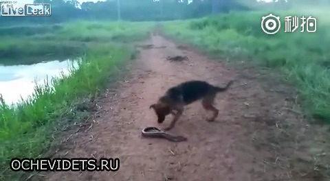 Pies kontra elektryczny węgorz