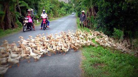Rzeka kaczek wylała na drogę