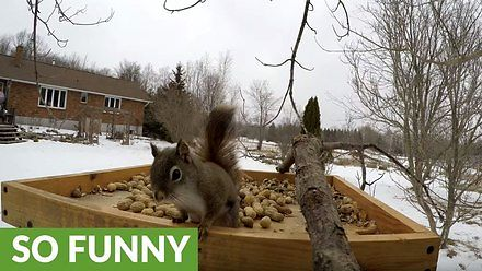 Wiewiórka pospolita spotyka czarną w karmniku i zaczyna się jatka