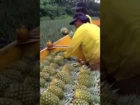 Ludzka linia produkcyjna na plantacji ananasów