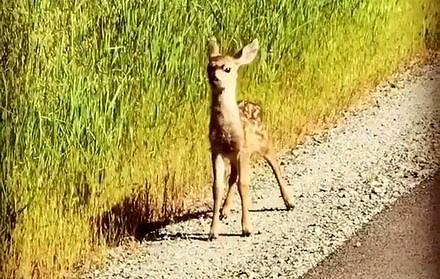 Bambi wyskoczył na miasto