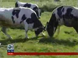 Uwaga! Naćpane krowy