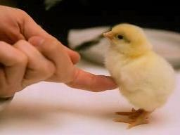 Ti ti ti kurczaczku!