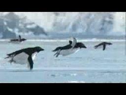 Odkryto pierwszy latający gatunek pingwinów