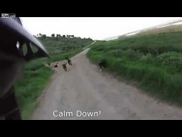 25 psów atakuje rowerzystę