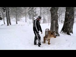 Zabawy z lwem na Kaukazie