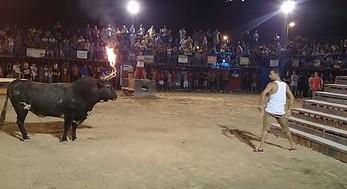 Chojrak prowokuje byka do ataku