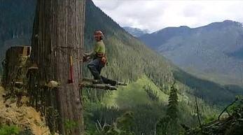 Najładniejsza ścinka drzewa jaką widziałeś