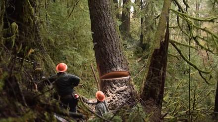 Wycinka drzew w Oregonie. Jedno z najbardziej niebezpiecznych miejsc pracy na świecie