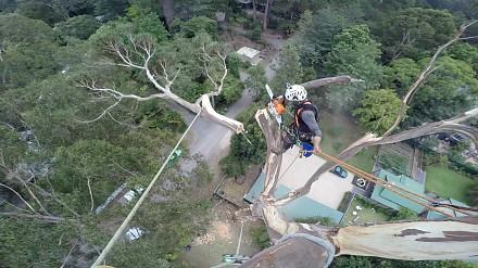 Ścinanie 40-metrowego drzewa
