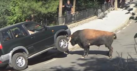Rozwścieczony byk atakuje samochód z ludźmi w środku