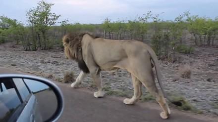 Wydaje ci się, że możesz bezkarnie drażnić króla dżungli?