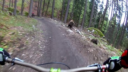 Zjazd downhillowy przerwany przez wkurzonego niedźwiedzia