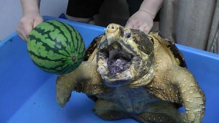 Żółw sępi mierzy się z arbuzem