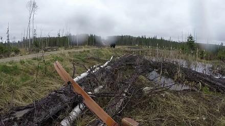 Atak czarnego niedźwiedzia w okolicy Ontario