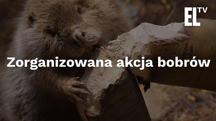Zorganizowana akcja bobrów
