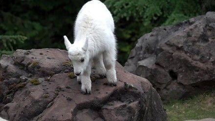 Mała kozica uczy się wspinać